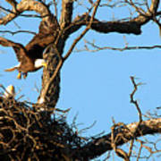 Bald Eagle Leaving The Nest Poster