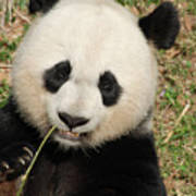 Bamboo Sticking Out Of The Mouth Of A Giant Panda Bear Poster
