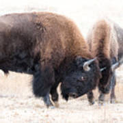 Battle Of The Bison In Rut Poster