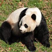 Beautiful Giant Panda Bear In The Wild Poster