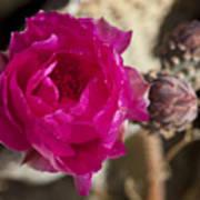Beavertail Cactus Blossom 2 Poster