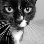 Bella The Cat Poster by Danielle Allard