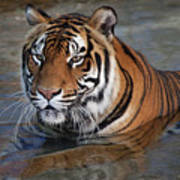 Bengal Tiger Laying In Water Poster