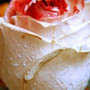 Bicolor Rose Poster