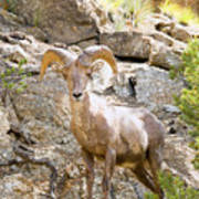 Bighorn Sheep In The San Isabel National Forest Poster
