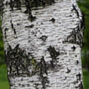 Birch Tree Poster