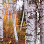 Birch Trees Fall Scenery Poster