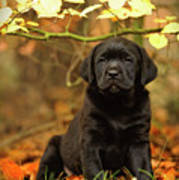 Black Labrador Retriever Puppy Poster