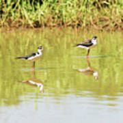 Black Necked Stilt, In The Pond In The Galapagos Poster