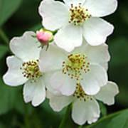 Blackberry Blossoms Poster
