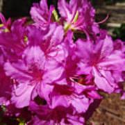 Blooming Azaleas Poster