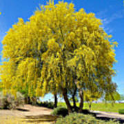 Blooming Palo Verde Poster