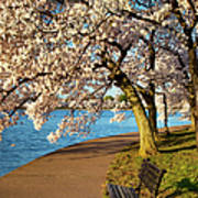 Blossoming Cherry Trees Poster