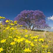 Blossoming Jacaranda Poster