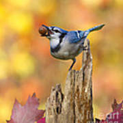 Blue Jay With Acorn Poster