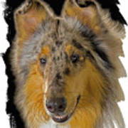 Blue Sable Standard Collie Poster by Larry Linton