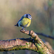 Bluetit On A Branch Poster