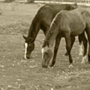 Brown Horses Grazing Poster