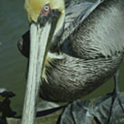 Brown Pelican At The Dock Of The Bay Poster