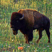 Buffalo Custer State Park Poster