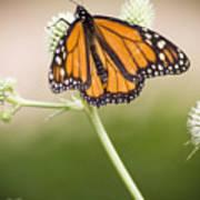 Butterfly In Wait Poster