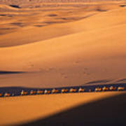 Camel Caravan Crosses The Dunes Poster