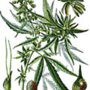 Cannabis Sativa Poster