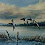 Canvasbacks Over Lake Earl Poster