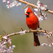 Cardinal In Cherry Poster