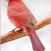 Cardinal Male In Winter Poster