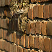 Cat On A Brick Wall Poster