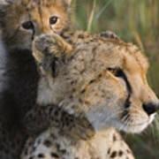 Cheetah Acinonyx Jubatus And Cub Poster