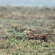 Cheetah Acinonyx Jubatus Hunting Poster