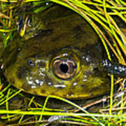 Chilean Widemouth Frog Poster
