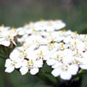 Close-ups Of A White Meadow Flower Poster