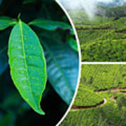 Collage Of  Tea Plantations In Munnar  Poster