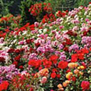 Colorful Spring Rose Garden Poster
