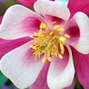 Columbine Flower 1 Poster