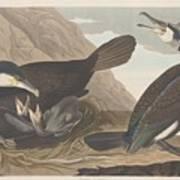 Common Cormorant Poster