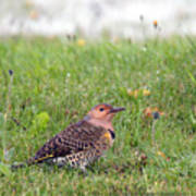 Common Flicker Poster