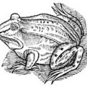 Common Toad Poster