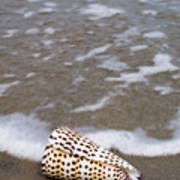 Cone Seashell On The Beach. Poster