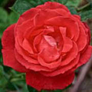 Coral Rose At Pilgrim Place In Claremont-california Poster