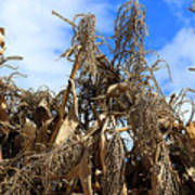 Corn Stalks Drying In The Sun Poster