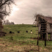 Cows In A Field By A Barn Poster