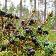 Crowberry Poster