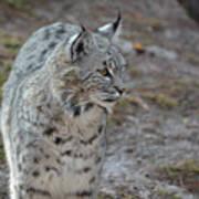 Curious Wandering Bobcat Poster