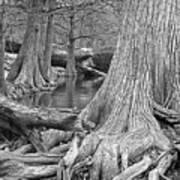 Cypress Trees I V Poster