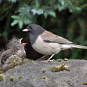 Dark-eyed Junco Mother And Baby Poster