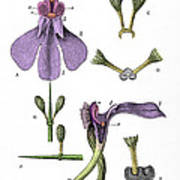 Darwins Orchis Pyramidalis, Illustration Poster